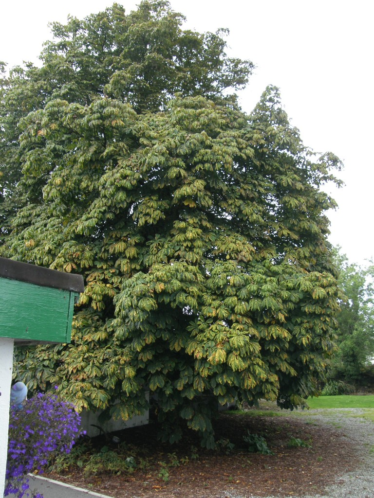 The Chestnut Tree for which the Cottage is named