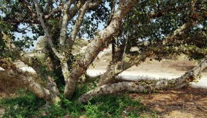 Sycamore Fig in Ashkelon